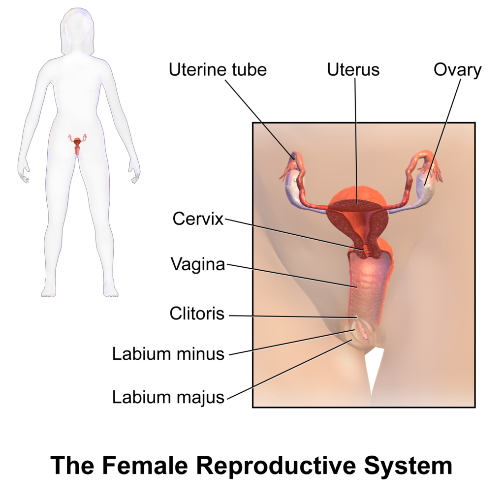 Reproductive system diseases and treatments